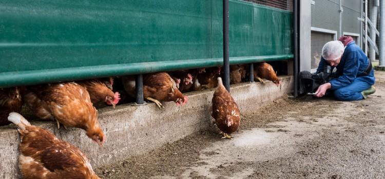 Hart van Nederland filmt einde ophokplicht bij Egg-tivity